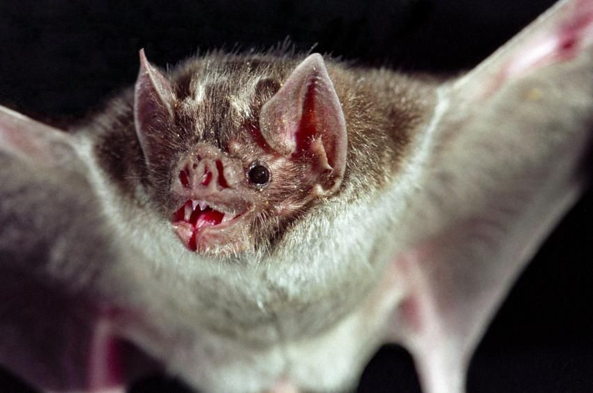 Pictures Of Animals That Live In A Jungle Lovetoknow Vampire Bat Animals Vampire