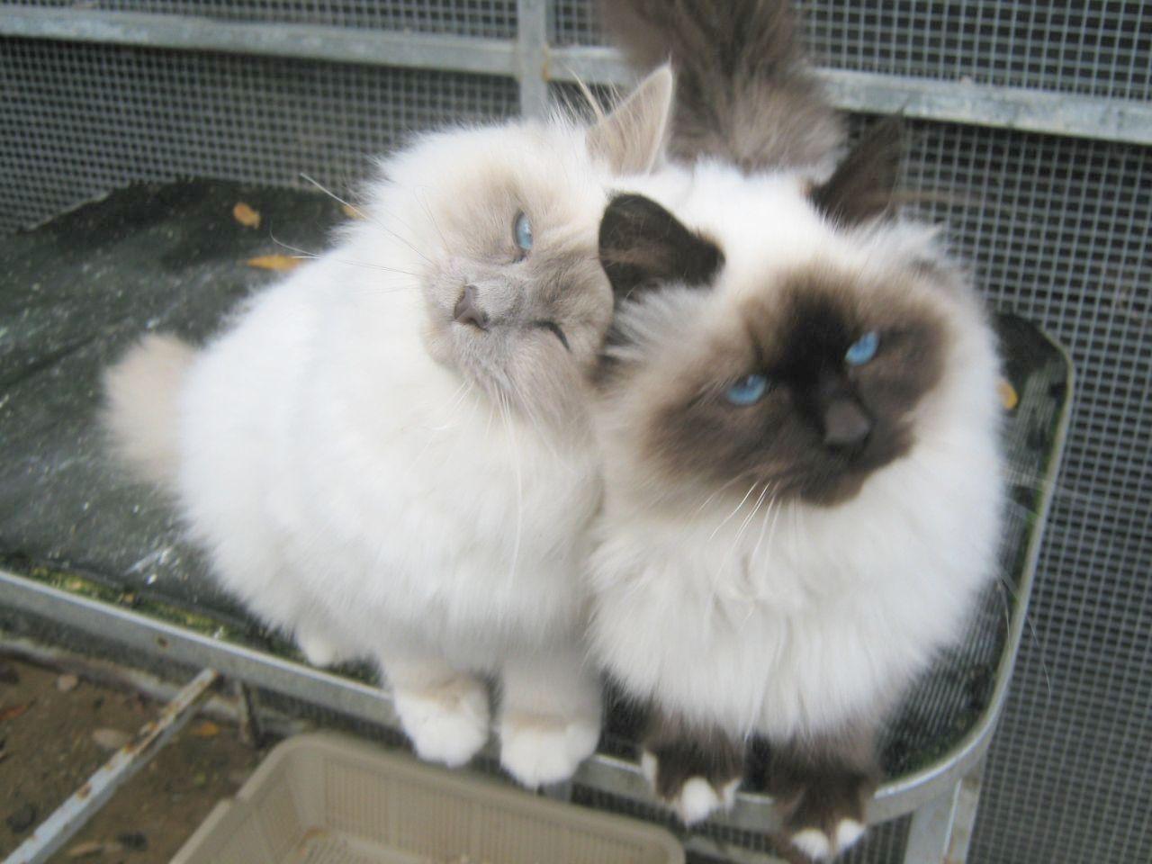 Cute Kittens Movies Cute Cats Easy Birman Kittens Cats Cute Cats
