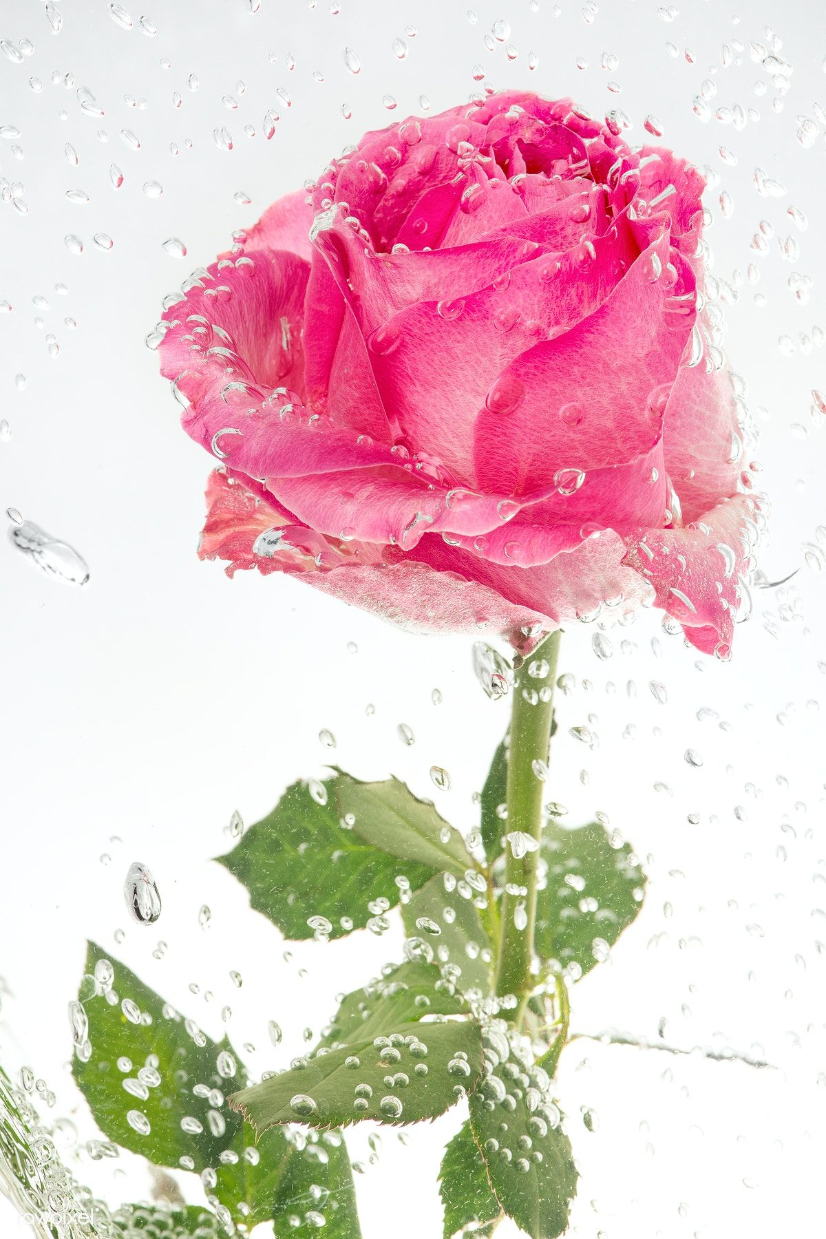 Download Premium Image Of Pink Blooming Rose Flower 2271228 In 2020 Blooming Rose Rose Flower Flowers