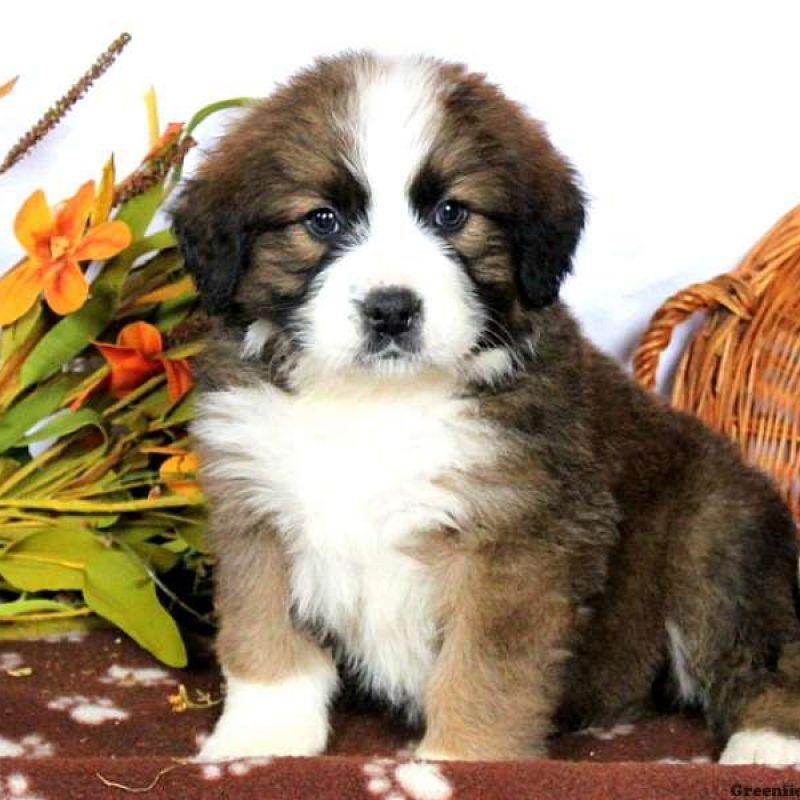 Bernese Mountain Dog Mix Puppies For Sale Greenfield Puppies Bernese Mountain Dog Mountain Dogs Dogs