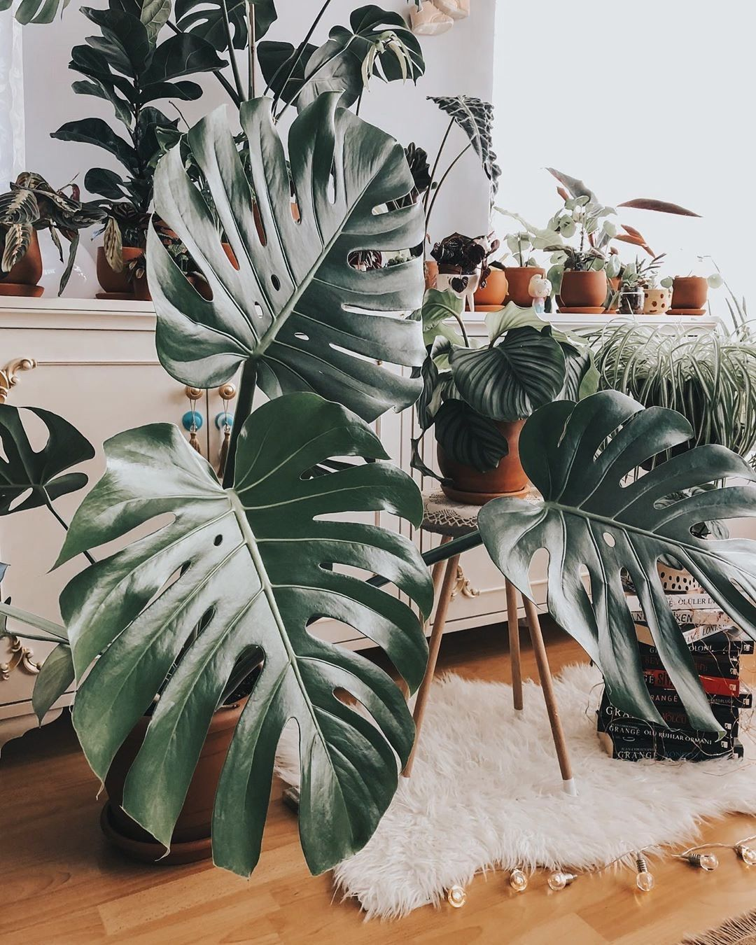 Monstera care tips