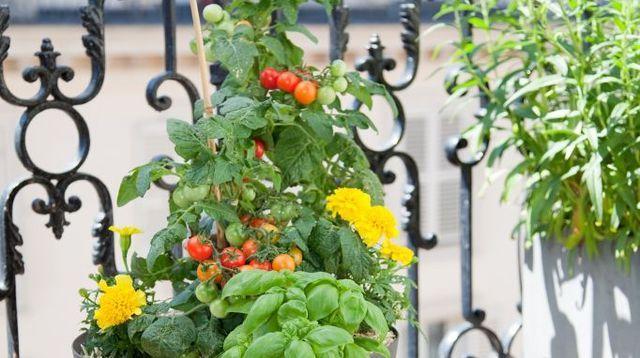 Planter des tomates cerises en pot : comment faire ?   Planter des tomates cerises, Planter ...