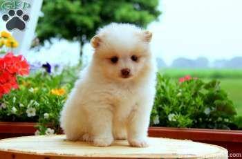 Teddy Pomeranian Puppy For Sale From Manheim Pa Pomeranian Puppy For Sale Pomeranian Puppy Puppies