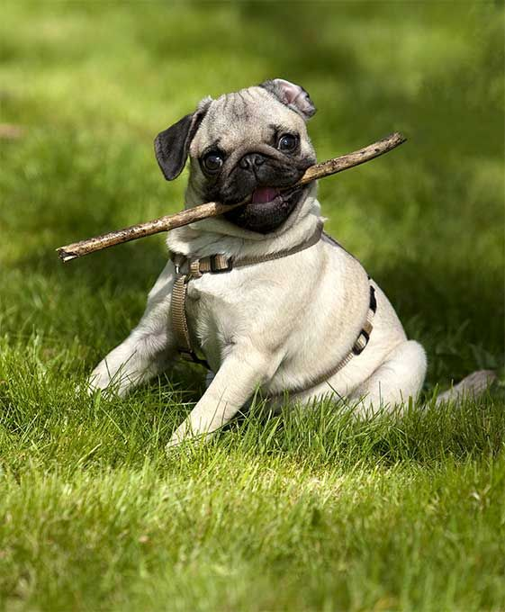 Pug Dog Breed Information Pictures Characteristics Facts Dog