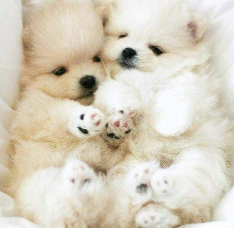 All About Bold Pomeranians Exercise Needs Pomeraniansquad Pomeraniangrooming Cute Baby Animals Cute Animals Cute Dogs