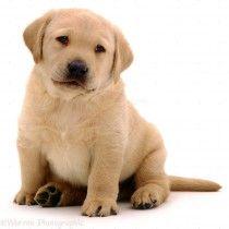 Dogs Land Mammals Mammals Animals Like Figures Labrador Retriever Puppies Golden Labrador Puppies Labrador Retriever