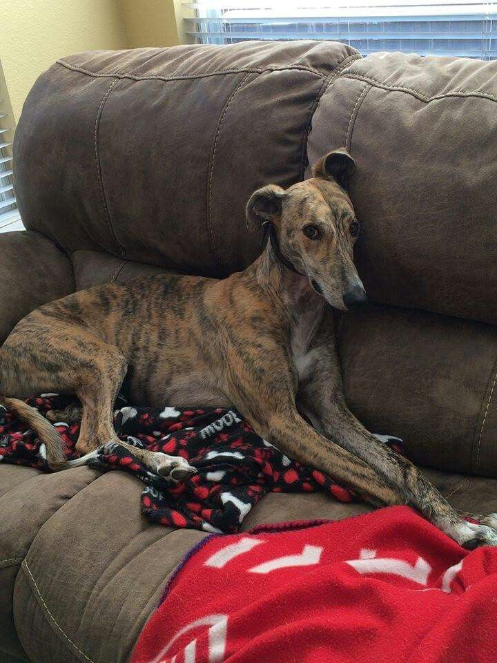 Jaxson loves his forever couch!  #greyhounds