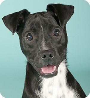 Chicago Il Rat Terrier Border Collie Mix Meet Hobbes A Dog
