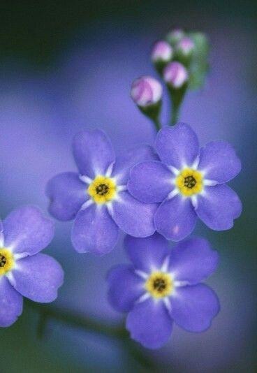 Flor No Me Olvides No Me Olvides Flores Nomeolvides Flor Y