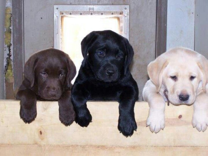 Labrador Want One Of Each Just Need The Black And