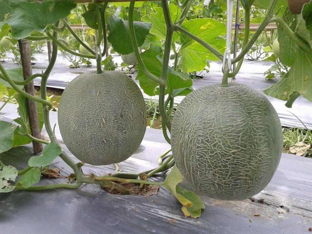 Waspada! Ini 8 Penyakit Tanaman Melon yang Bikin Gagal Panen!
