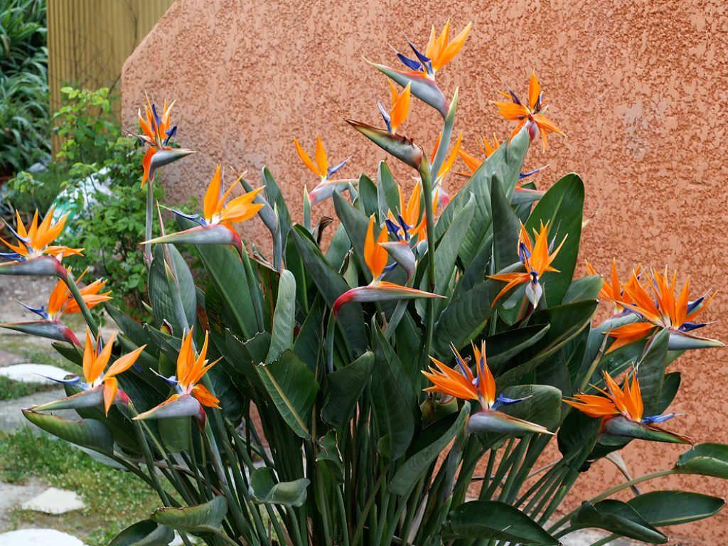 Strelitzia Reginae Bird Of Paradise Flower World Of Flowering Plants Birds Of Paradise Flower Buy Plants Birds Of Paradise Plant