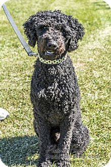 Courtice, ON - Poodle (Standard)/Labrador Retriever Mix. Meet Rogue, a dog for adoption. http://www.adoptapet.com/pet/16970199-courtice-ontario-poodle-standard-mix