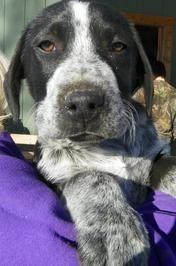 Pointer/Australian shepherd mix Labrador retriever mix
