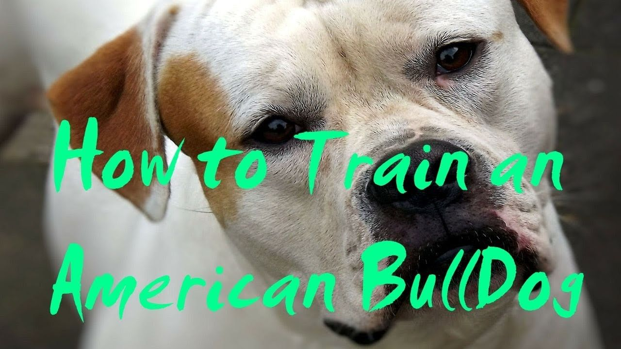 How To Train An American Bulldog How To Potty Train An American
