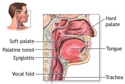 Anatomy Physiology Throat Anatomy Throat Cancer Dysphagia