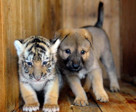 Oh, cute little tiger and dog!