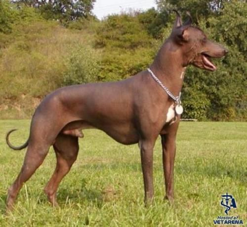 Peruvian Inca Orchid | Dog Breed Facts and Information