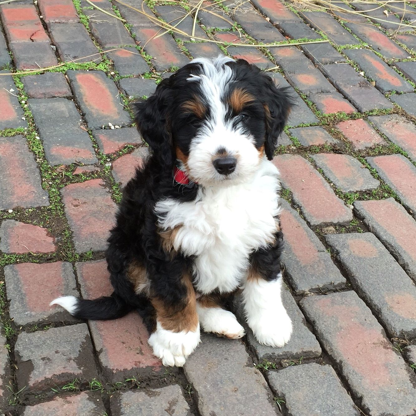 Bernedoodle Babe Bernedoodle Bernedoodlepuppy Cute Dogs Bernedoodle Puppy Cute Animals