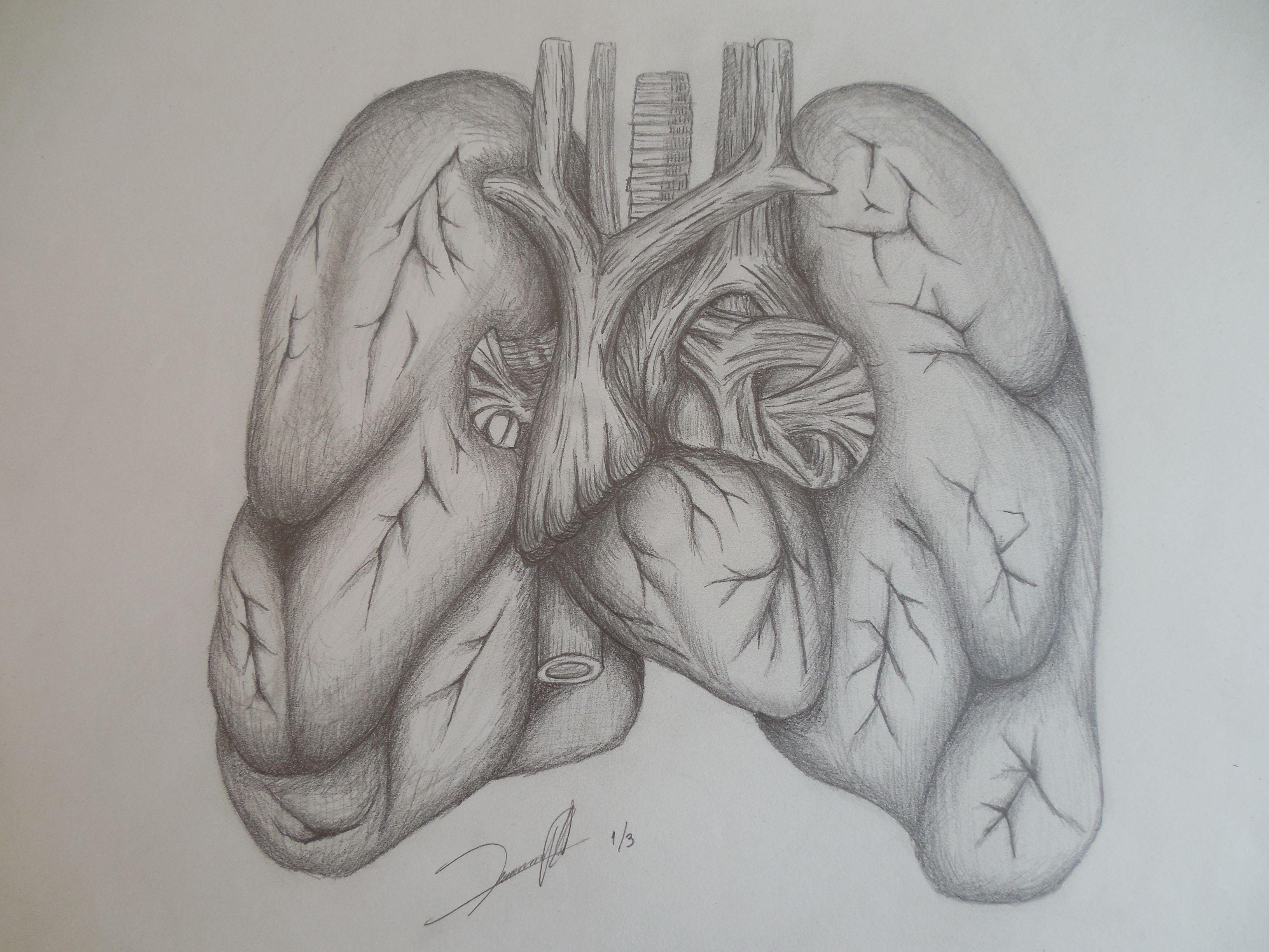 Único Anatomía Pulmonar Pájaro Bandera - Imágenes de Anatomía Humana ...