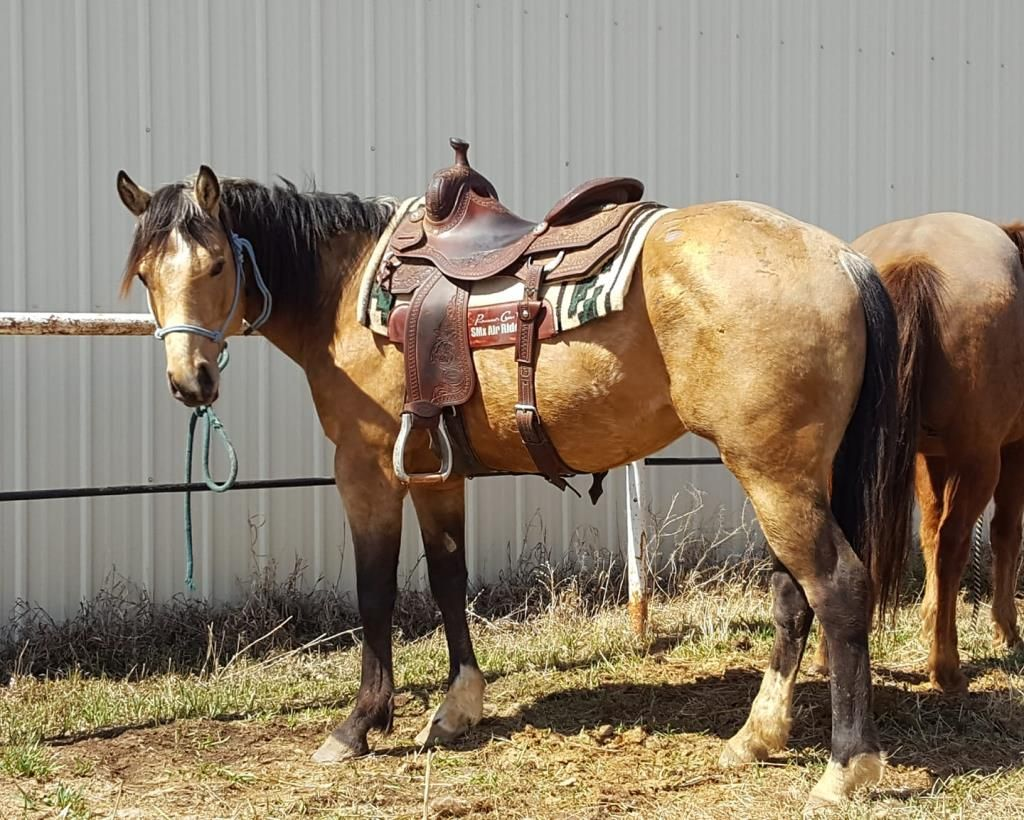 Two Jacs And A King 2014 Aqha Buckskin Gelding For Sale In