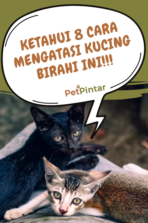Ketahui 8 Cara Mengatasi Kucing Birahi Ini Kucing Hewan Peliharaan Kucing Betina