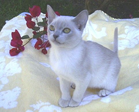 Image Result For Lilac Burmese Cat Burmese Cat Cat Family Cute Animals