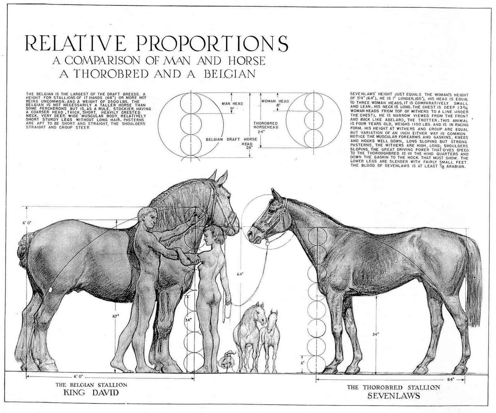 Human And Horse Proportions Animais Cavalos Dicas De Cavalo