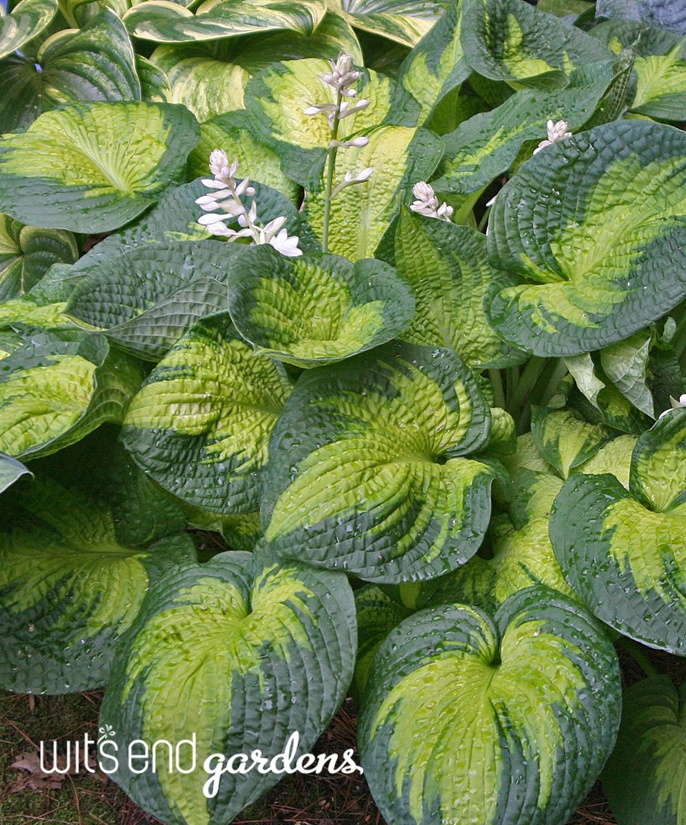 Yummy texture! Hosta 'Brother Stefan' makes a large clump of thick, crinkly, corrugated, puckered leaves.