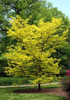 Sunburst Honey Locust Tree Thornless And Podless About 30 40 Tall Small Leaves Very Hardy Little Water Watters Recommends Fall Color
