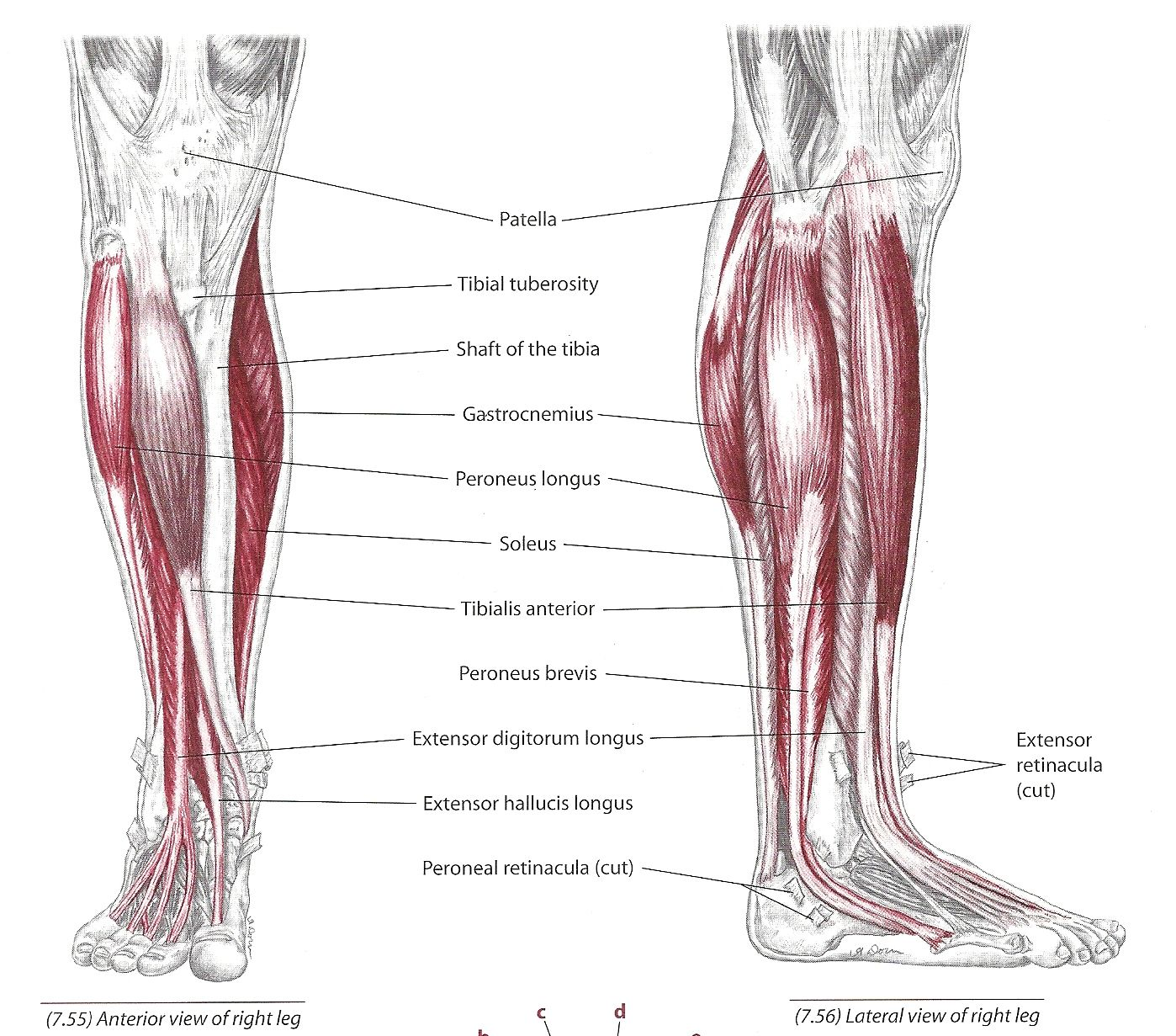 The Tibialis Anterior Muscle Rehab Pinterest Muscle Peroneus