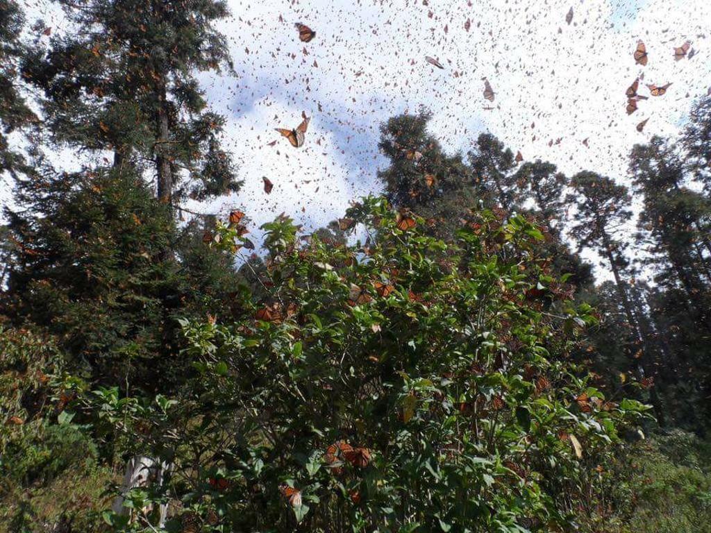 Se soffrite di papilofobia, questo articolo non fa per voi. Per tutti gli altri, esiste un posto al mondo in cui è possibile essere circondati da milioni e milioni di farfalle. Siamo in Messico e la R
