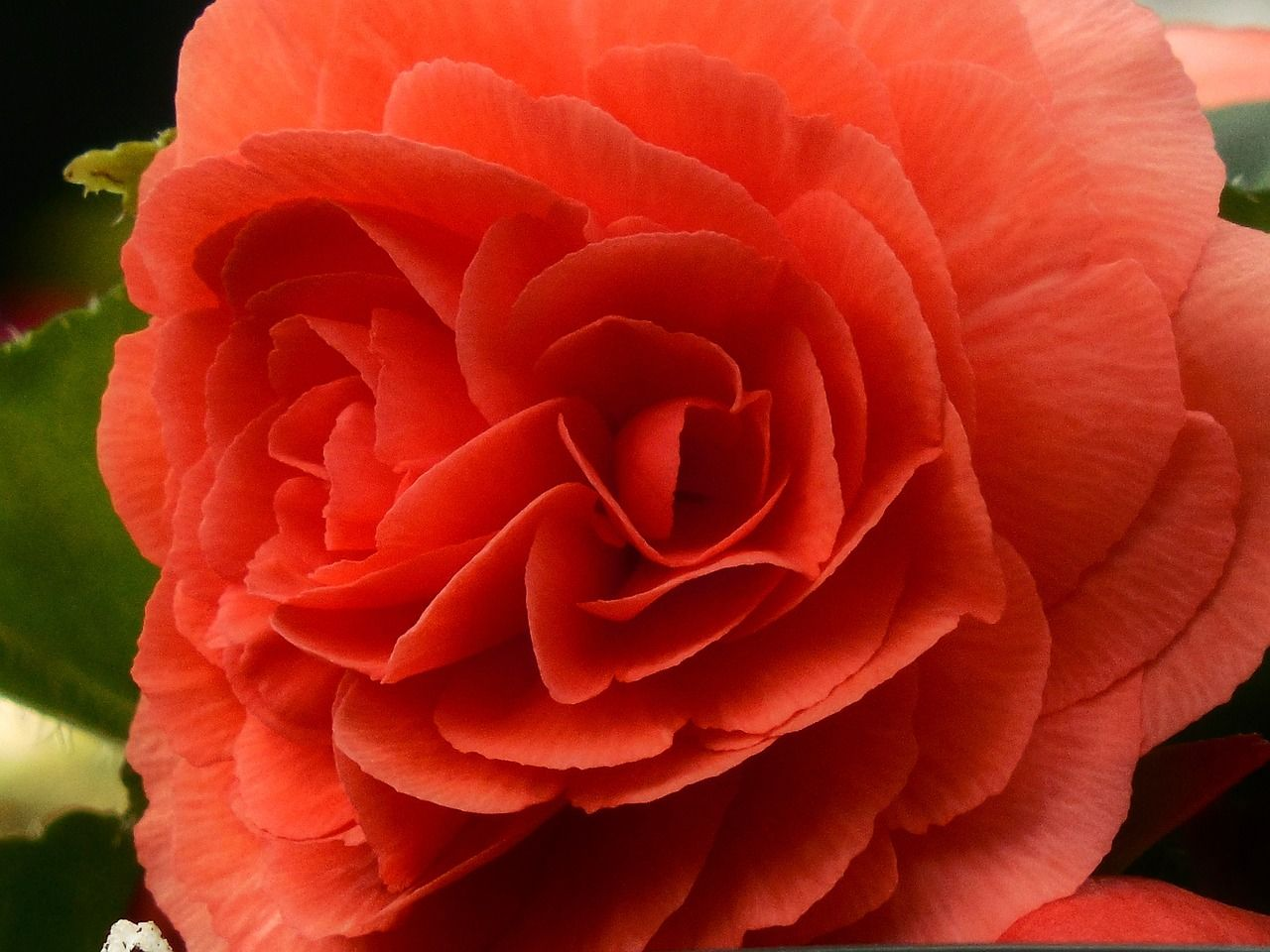 Begonia Meaning Beware or Friendship. Although very