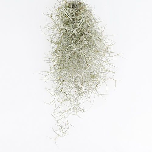 Tillandsia-Air-Plants-Usneoides-Spanish-Moss-by-Joinflower-Joinfolia
