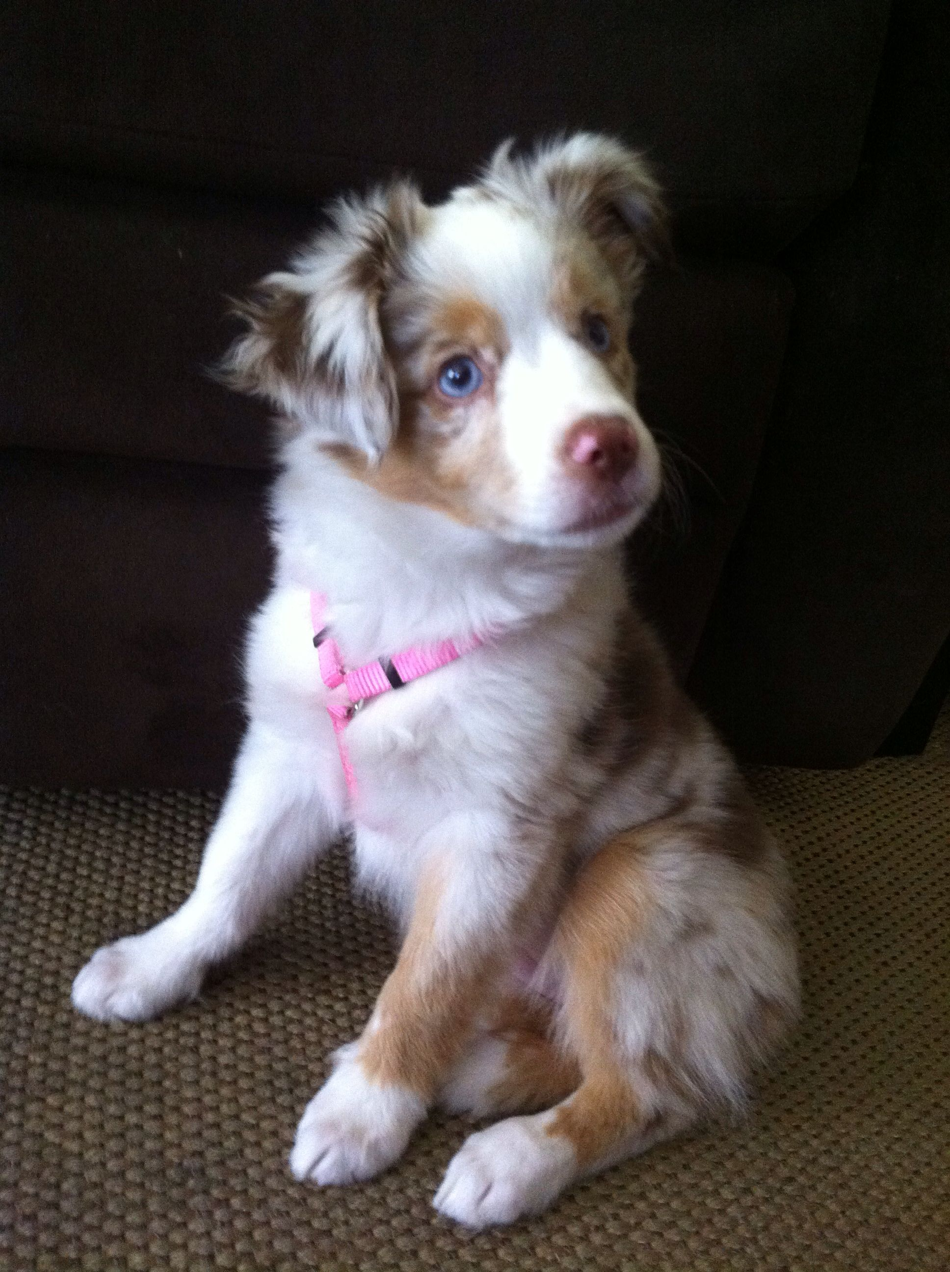 Princess Kailani Red Merle Mini Aussie Dogs Australian