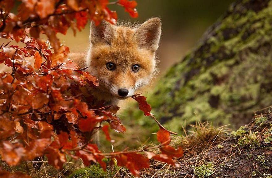 Fox Favorite Autumn Fall Season Cute Adorable Fur Nature Animals Cute Animals Animals Wild Nature Animals