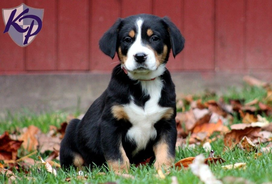 Sawyer – Greater Swiss Mountain Dog Puppies for Sale in PA | Keystone Puppies