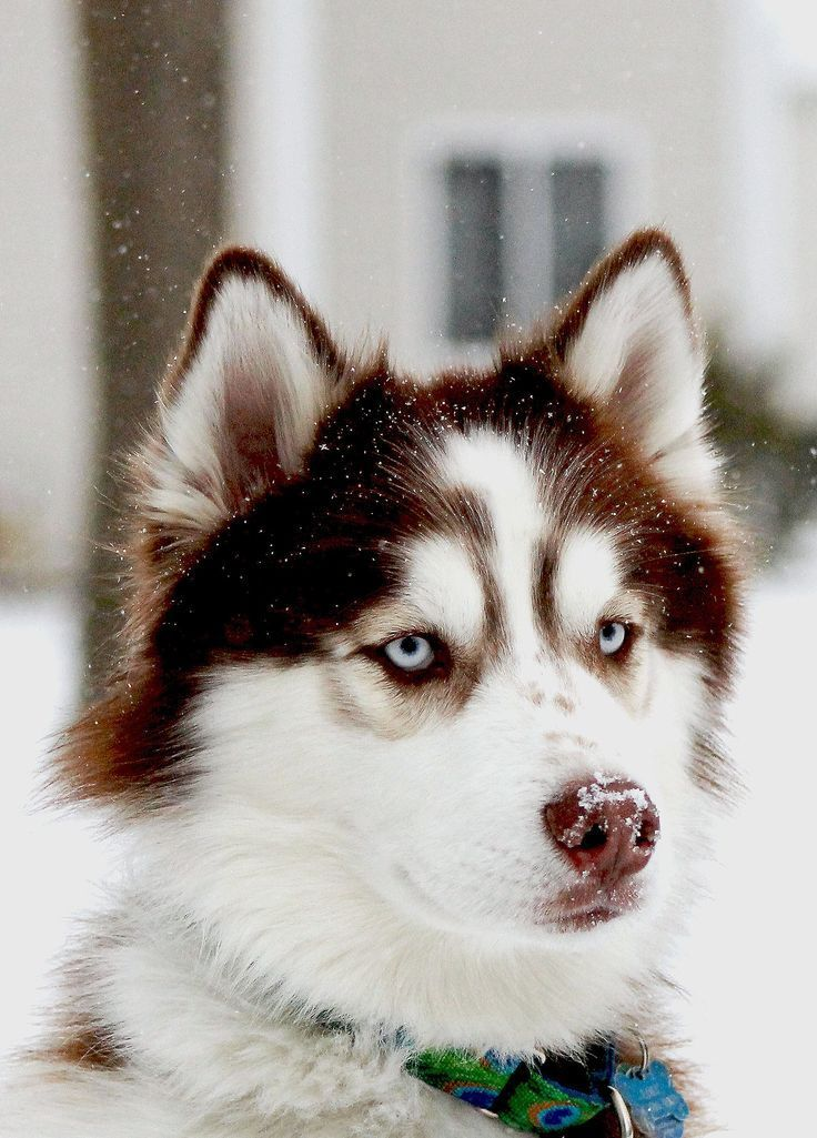 These Dogs Are So Cute When They Talk Siberian Husky Dog