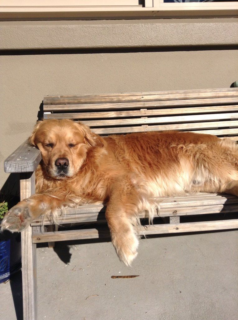 Life Is Good For Barney Golden Retriever Retriever Puppy