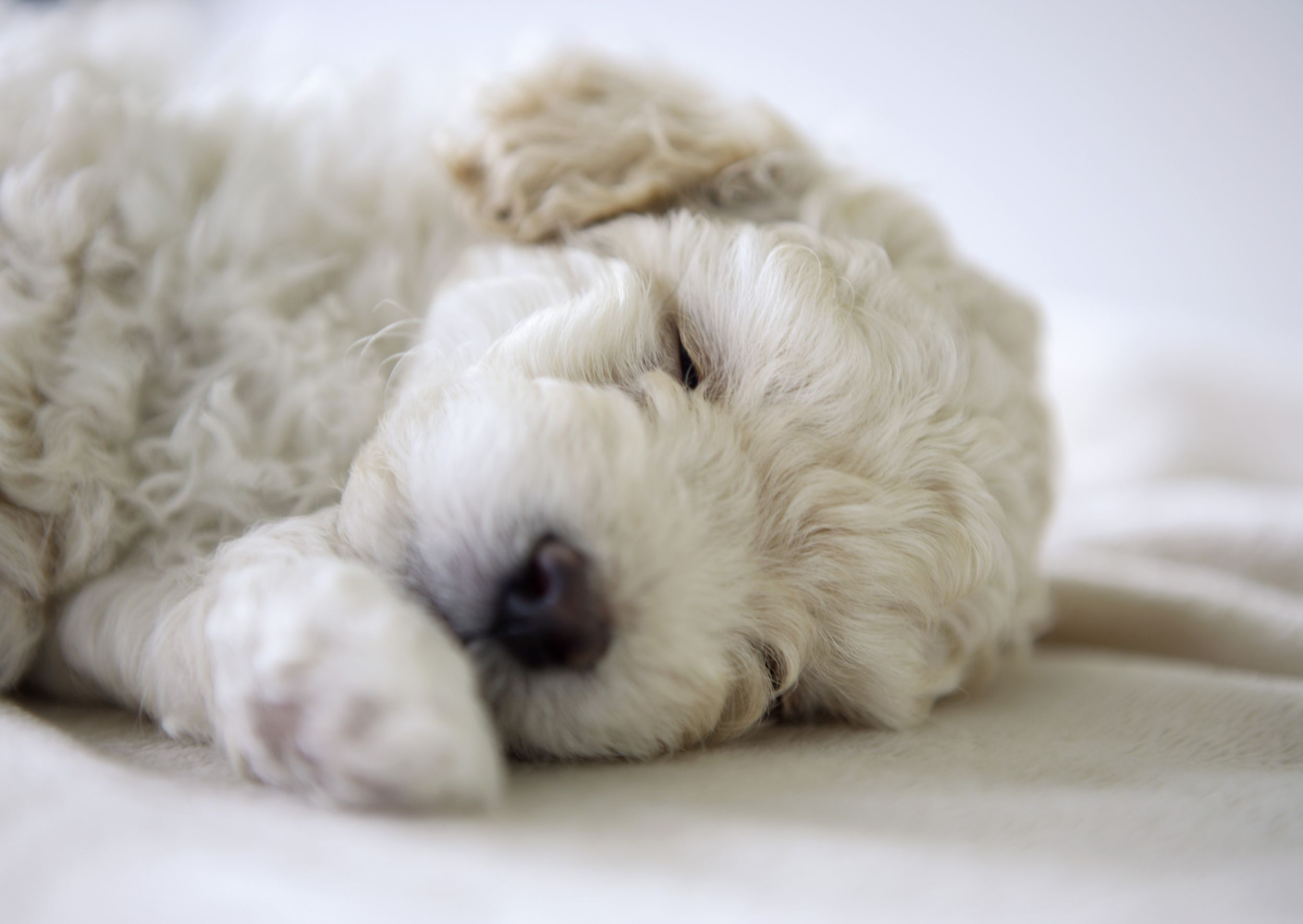 Sleeping Poodle puppy via @AOL_Lifestyle Read more: http://www.aol.com/article/lifestyle/2016/12/12/stress-can-cause-premature-gray-hair-in-dogs/21626368/?a_dgi=aolshare_pinterest#fullscreen