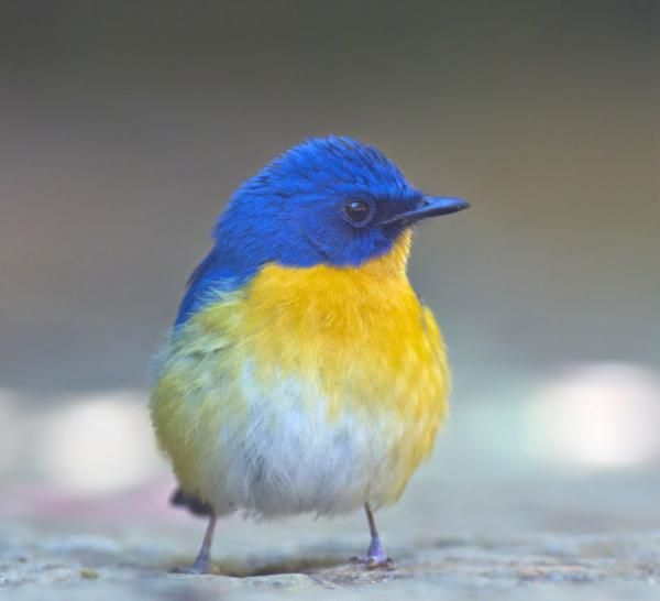 Tickell's blue flycatcher   CheckMySnaps photography contest entry of dilip gopalakrishna for World of Expressions 2012   Snap taken @ bangalore outskirts