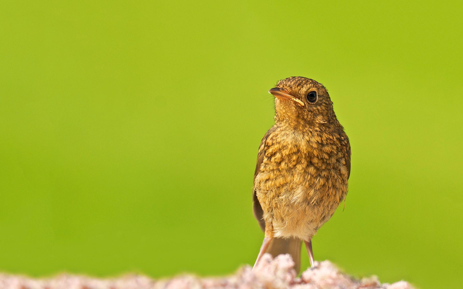 Ultra HD Baby Robin Bird