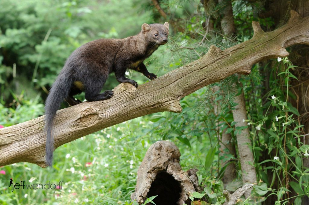 Fisher Cat is the name sake of Fisher Cat's Den at Hostel