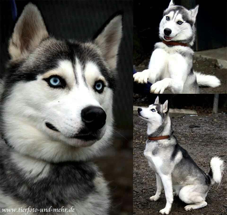 Gorgeous Huskey Yes He Is The One Dog Breeds Siberian Husky