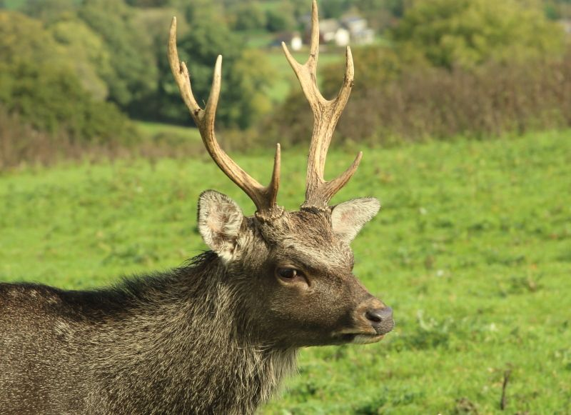 Sika Stag: The Beauty Of Wildlife