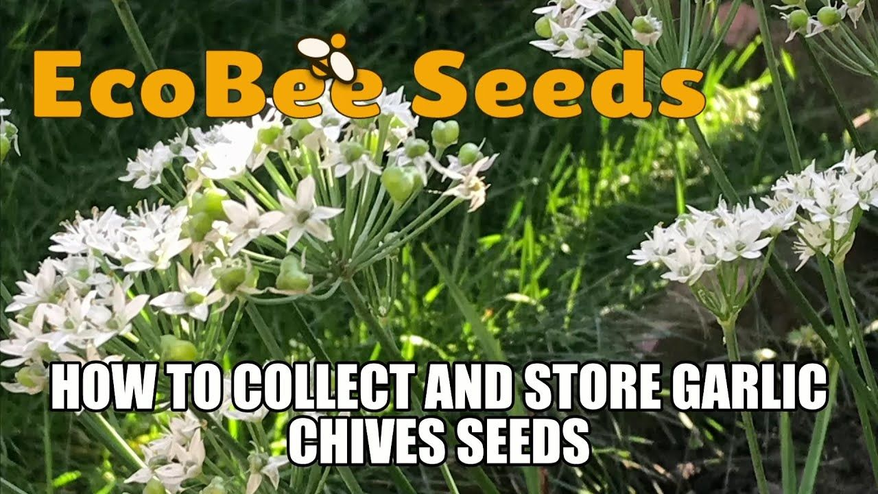 How To Harvest Seeds How To Collect And Store Garlic Chives Seeds Chive Seeds Garlic Chives Seeds