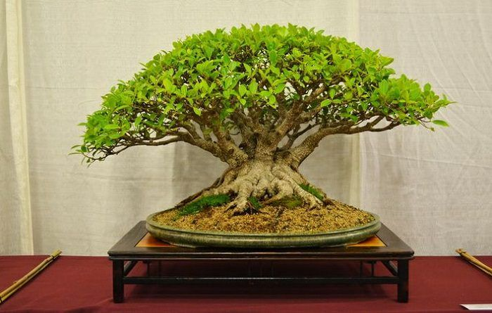 22 Best Trees For Bonsai You Should Know About Bonsai Tree