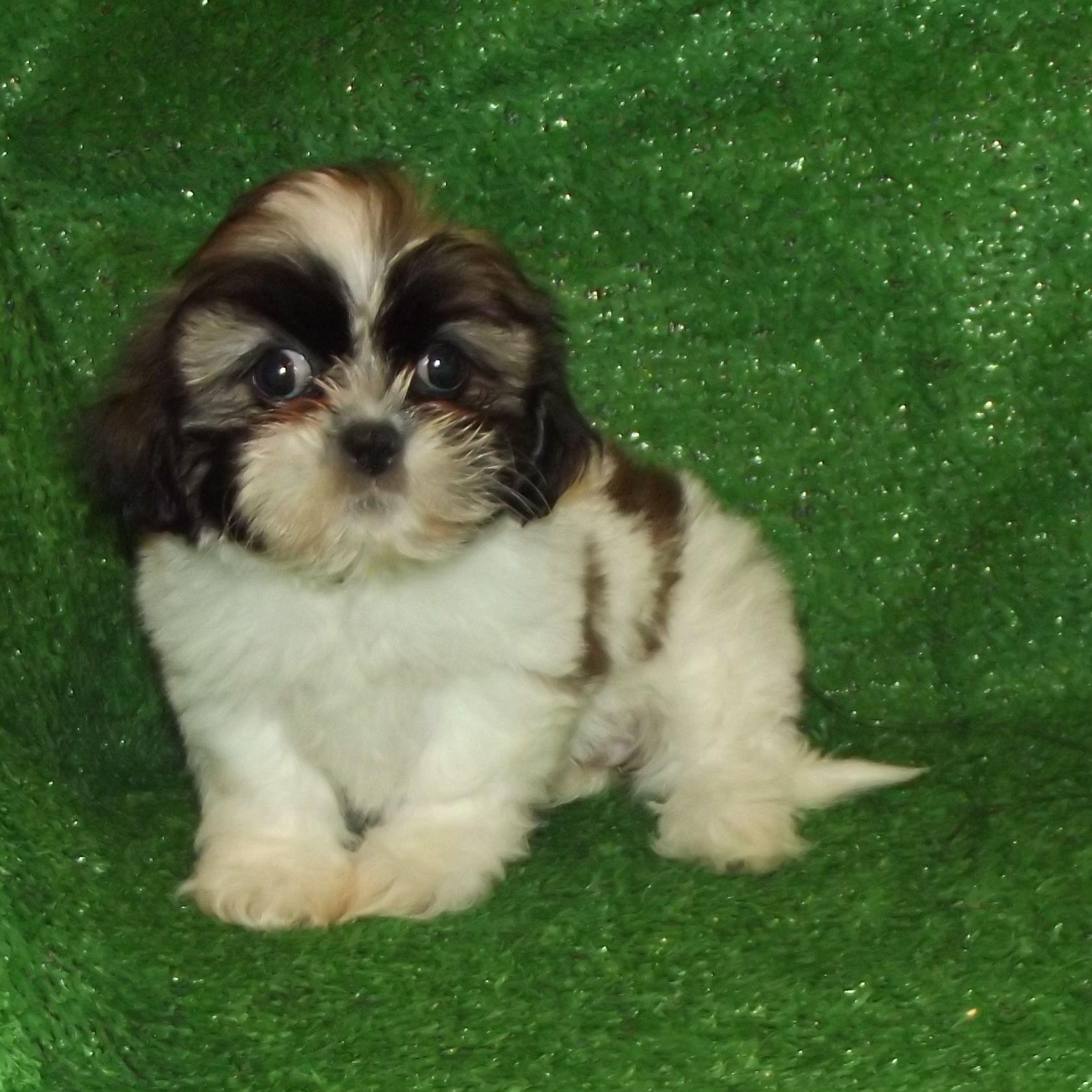 Park Art My WordPress Blog_Shih Tzu Mix Puppies For Sale In Nj
