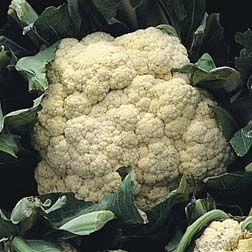 Cauliflower Cauliflower Brassica Vegetable Seed