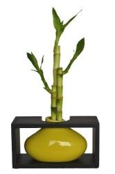 KL Design & Import – Contemporary Design Ceramic Vase with Wooden Rack and 3 Stalks Lucky Bamboo (6″, 8″ and 10″) Perfect For Feng Shui and Gifts